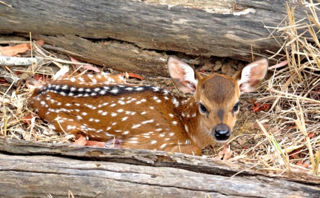 Young fawn bedded down for protection.