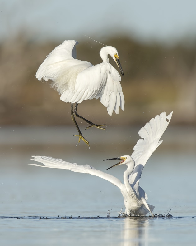 Slight disagreement by Shelley Pearson won top prize in the Bird Behaviour category in 2018