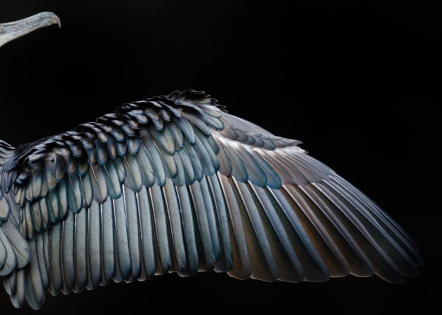 2017 Bird Photographer of the Year Awards. Winner, Attention to Detail. Cormorant wing by Tom Hines.
