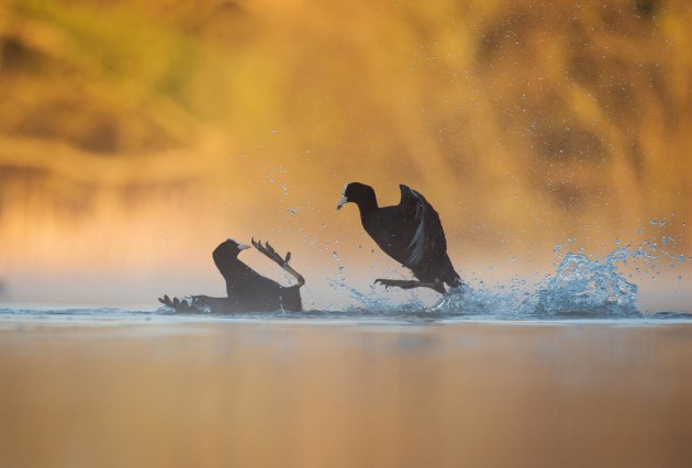 2017 Bird Photographer of the Year Awards. Winner, Bird Behaviour. 'Fighting Coots' by Andy Parkinson.