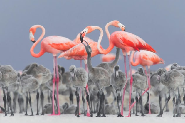 2017 Bird Photographer of the Year Awards. Winner, Bird Photographer of the Year and Best Portrait. 'Feeding Flamingos' by Alejandro Prieto Rojas.