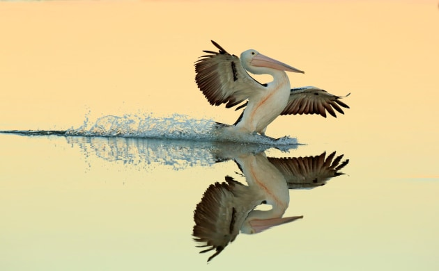 2017 Bird Photographer of the Year Awards. Winner, Birds in Flight. 'Australian Pelican landing on water' by Bret Charman