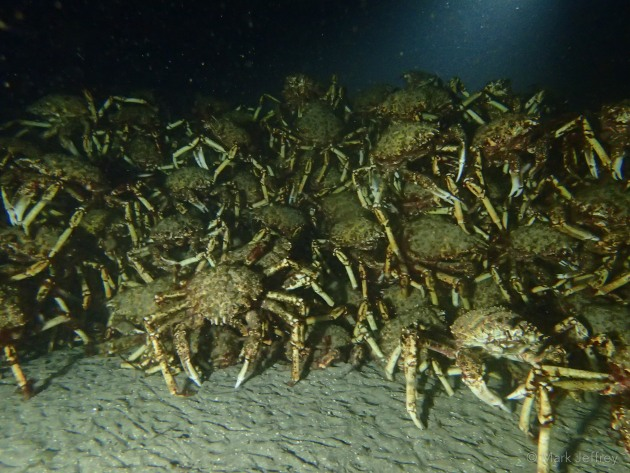 Giant Spider Crab Aggregation Leptomithrax gaimardii located under the marina– credit Mark Jeffrey.