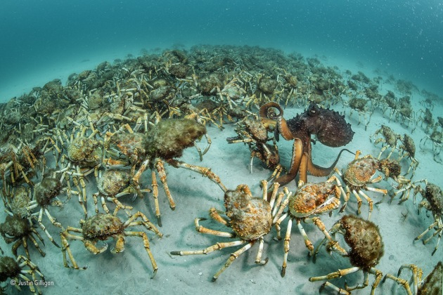Crab surprise Justin Gilligan, Australia Winner 2017, Behaviour: Invertebrates page 3 of 6 Out of the blue, an aggregation of giant spider crabs the size of a football field wandered past. Known to converge in their thousands elsewhere in Australian waters – probably seeking safety in numbers before moulting – such gatherings were unknown in Mercury Passage off the east coast of Tasmania. Justin was busy documenting a University of Tasmania kelp transplant experiment and was taken completely by surprise. A single giant spider crab can be hard to spot – algae and sponges often attach to its shell, providing excellent camouflage – but there was no missing this mass march-past, scavenging whatever food lay in their path on the sandy sea floor. 'About 15 minutes later, I noticed an odd shape in the distance, moving among the writhing crabs,' says Justin. It was a Maori octopus that seemed equally delighted with the unexpected bounty.