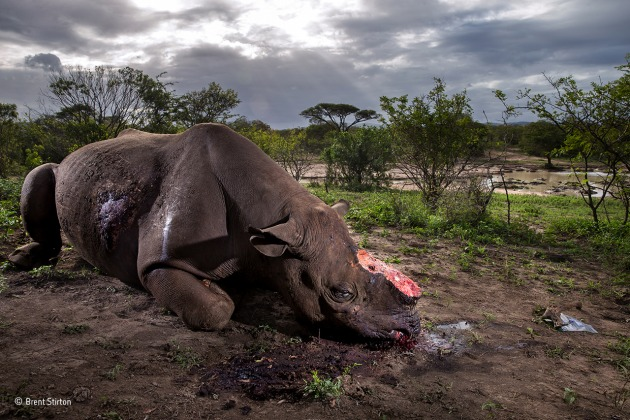 Memorial to a species Brent Stirton, South Africa Grand title winner 2017 (Also winner of The Wildlife Photojournalist Award: Story category) The killers were probably from a local community but working to order. Entering the Hluhluwe Imfolozi Game Reserve at night, they shot the black rhino bull using a silencer. Working fast, they hacked off the two horns and escaped before being discovered by the reserve's patrol. The horns would have been sold to a middleman and smuggled out of South Africa, probably via Mozambique, to China or Vietnam. For the reserve, it was grim news, not least because this is where conservationists bred back from near extinction the subspecies that is now the pre-eminent target for poachers, the southern white rhino. For the photographer, the crime scene was one of more than 30 he visited in the course of covering this tragic story. Canon EOS-1DX + 28mm f2.8 lens; 1/250 sec at f9; ISO 200; flash.