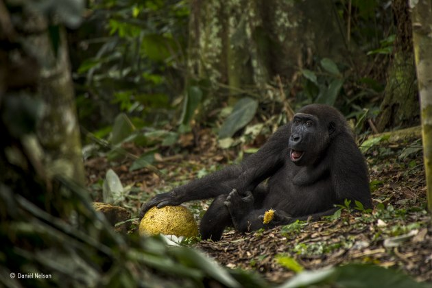 The good life, Daniël Nelson, The Netherlands, Grand title winner 2017, Young Wildlife Photographer of the Year, (Also winner of the 15-17 years old category). Daniël met Caco in the forest of Odzala National Park in the Republic of Congo. A three‑hour trek through dense vegetation with skilled trackers led him to where the 16‑strong Neptuno family was feeding and to a close encounter with one of the few habituated groups of western lowland gorillas. In the wet season they favour the plentiful supply of sweet fruit, and here Caco is feasting on a fleshy African breadfruit. Caco is about nine years old and preparing to leave his family. He is putting on muscle, becoming a little too bold and is often found at the fringe of the group. He will soon become a solitary silverback, perhaps teaming up with other males to explore and, with luck, starting his own family in eight to ten years' time. Western lowland gorillas are critically endangered, threatened by illegal hunting for bushmeat.