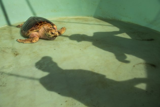 This loggerhead turtle is being prepared for release back into the wild after rehabilitation. By only showing the shadows of the carers, the image hints at the human impact of the story without actually showing a person.