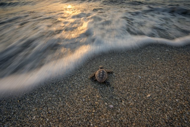 After emerging from its nest a baby turtle heads into the surf creating a great closing image. The scene provides a sense of hope and the turtle moving out of the frame signals an end to the photographic essay.