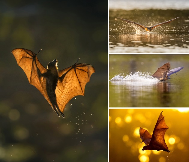 Clement Chua's entry 'Into the Dusk' captured a little-known animal behaviour as flying foxes skim the surface of a lake in Sydney to cool their bodies on a hot day. The series was the runner up in the Wildlife category in 2017.