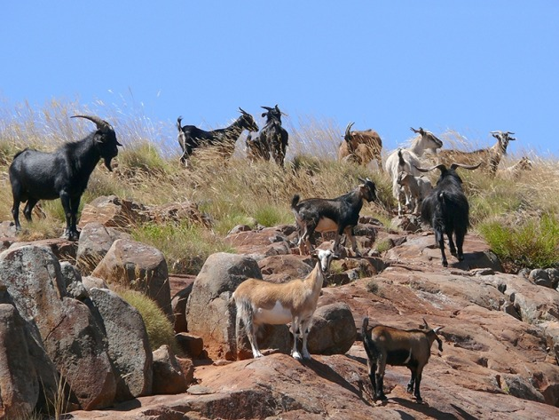Feral goats - image Ag Vic