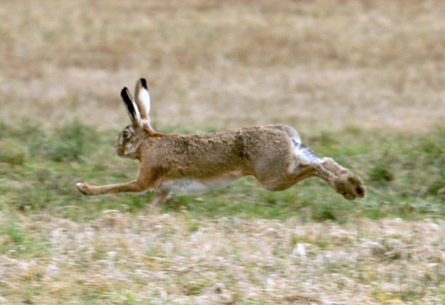 Swift-footed hare is a challenging target.