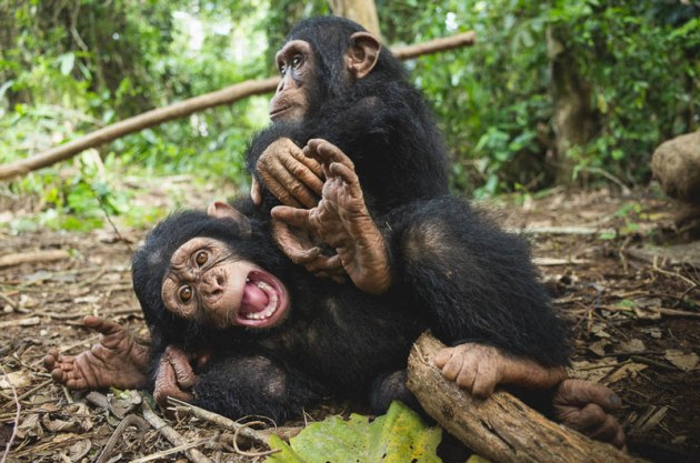 © Ian Bickerstaff. Chimpanzees can display very flexible facial expressions, and here Little Larry shows an open-mouthed 'play face' whilst he and Daphne wrestle in the forest.