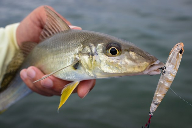whiting on surface lure