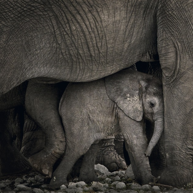 © Marina Cano. Infant elephant and herd in Etosha National Park, Namibia.