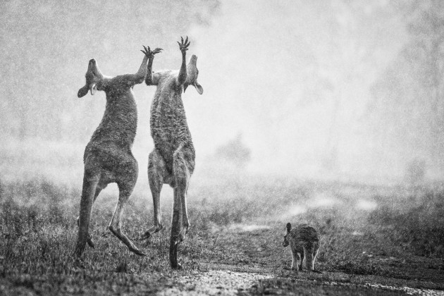 Three hours were spent waiting in the rain for a fight to break out away from the main mob. I felt like the sad wet little joey to the right by the end of it. The hardest part of this photo was capturing the symmetry of the two roos while drawing viewers' eyes through the scene. Nikon D800E, 150-500mm f/5-6.3 lens @ 500mm, 1/1250s @ f/6.3, ISO 4000.