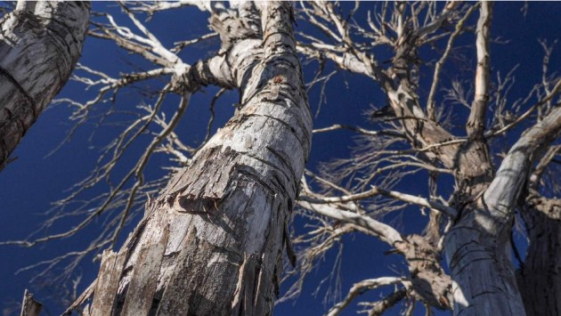 screenshot_2021-03-10-snowgums-being-eaten-alive-in-the-alps.png