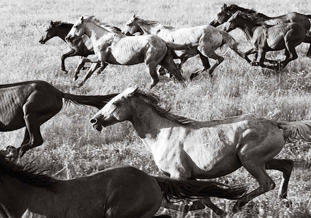 Brumby a book of black and white images of wild horses by commercial photographer nick leary has been released this month in australia