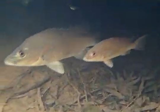 20 new freshwater fish discovered in the kimberleys fishing world according to the abcs 730 report twenty new freshwater fish species have been discovered in the rivers of the kimberleys region of western australia by a sciox Images