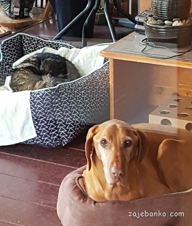 zločesta mačka spava u košari za psa