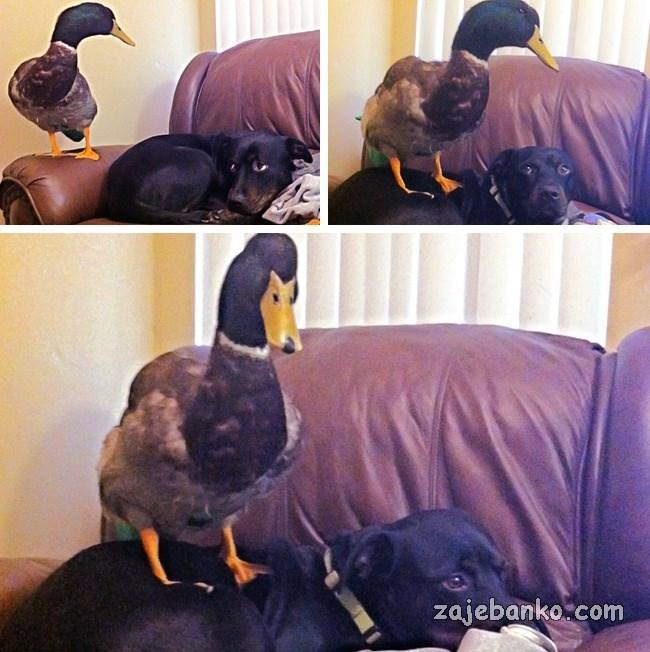zločesta patka