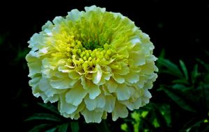 marigold-monsoon plant