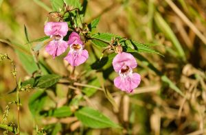 balsam-monsoon plant