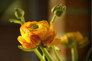 Ranunculus-winter flower