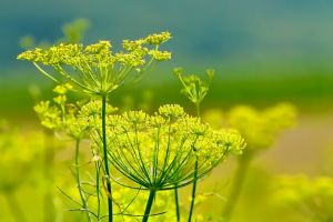 fennel-cooking herb