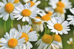 Chamomile-cooking herb