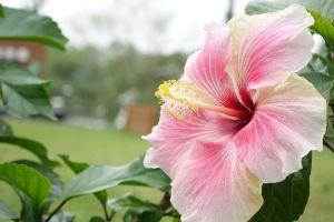 hibiscus-monsoon plant