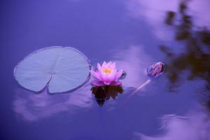 lotus-monsoon plant