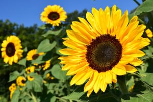 sunflower-monsoon plant