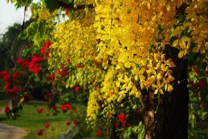 cassia-monsoon plant