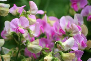 Sweet Pea-winter flower