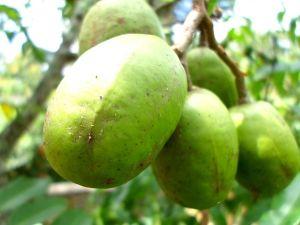 Ambarella-rare indian fruit
