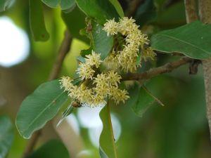 Khirni-rare indian fruit