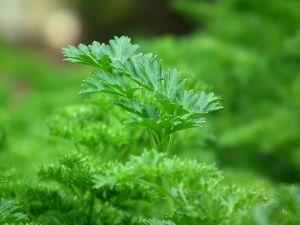 parsley-cooking herb