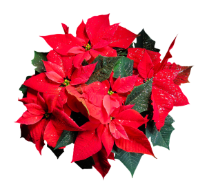 Poinsettia-winter flower