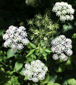 Chervil-cooking herb