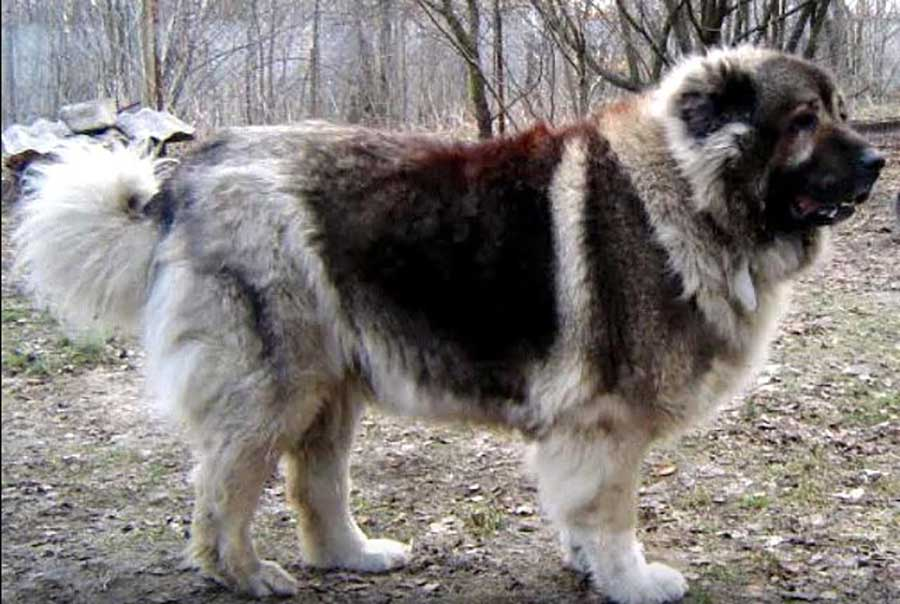 Caucasian Ovcharka 25 Most Dangerous Dog Breeds-1