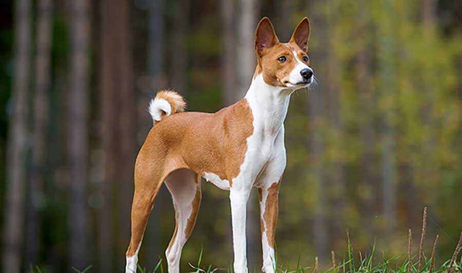 Basenji 25 Most Dangerous Dog Breeds-5