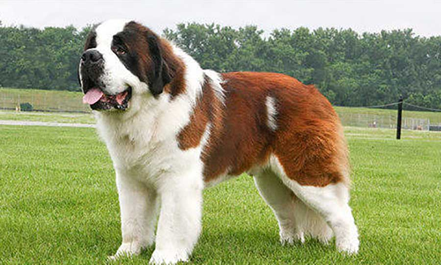 Saint Bernard 25 Most Dangerous Dog Breeds-6