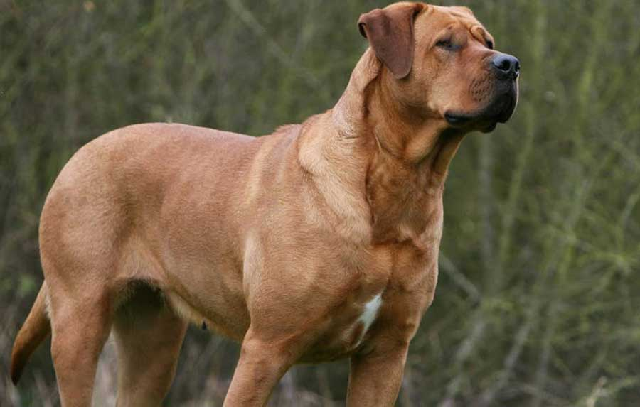 Tosa Inu 25 Most Dangerous Dog Breeds-12