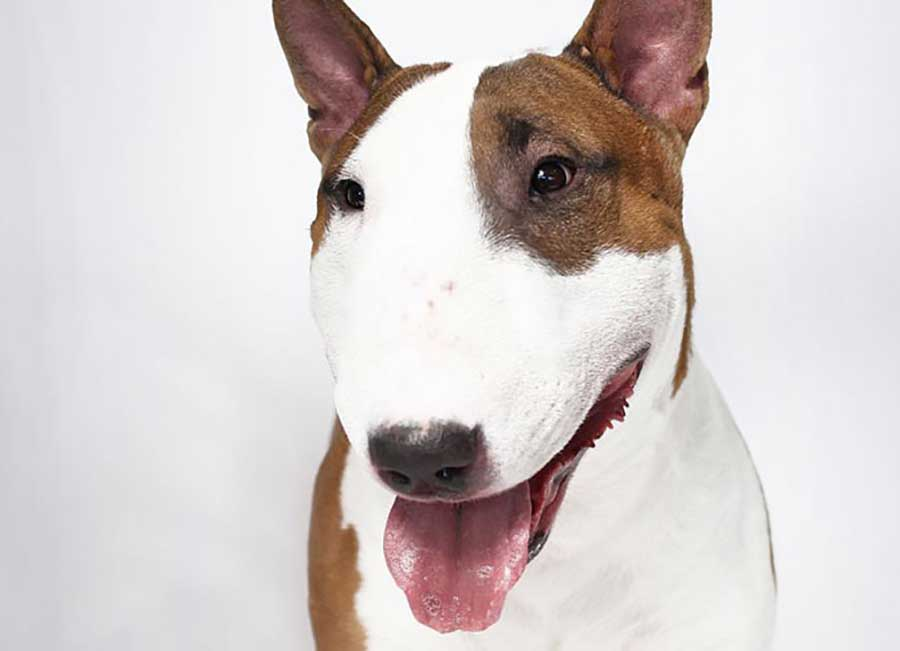 Bull Terrier 25 Most Dangerous Dog Breeds-15