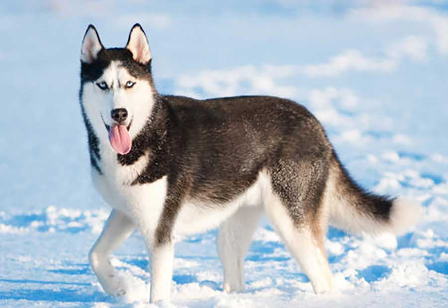 Huskies 25 Most Dangerous Dog Breeds-21