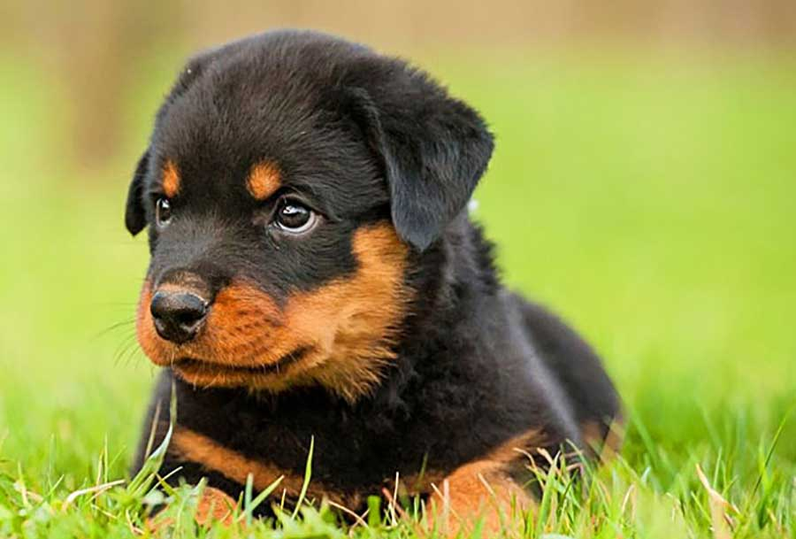 Rottweiler 25 Most Dangerous Dog Breeds-23