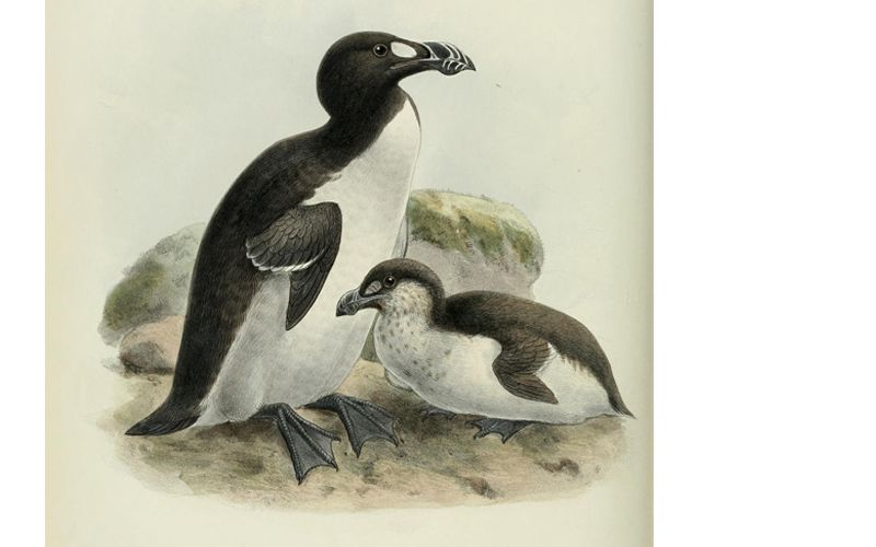 Great Auk Facts