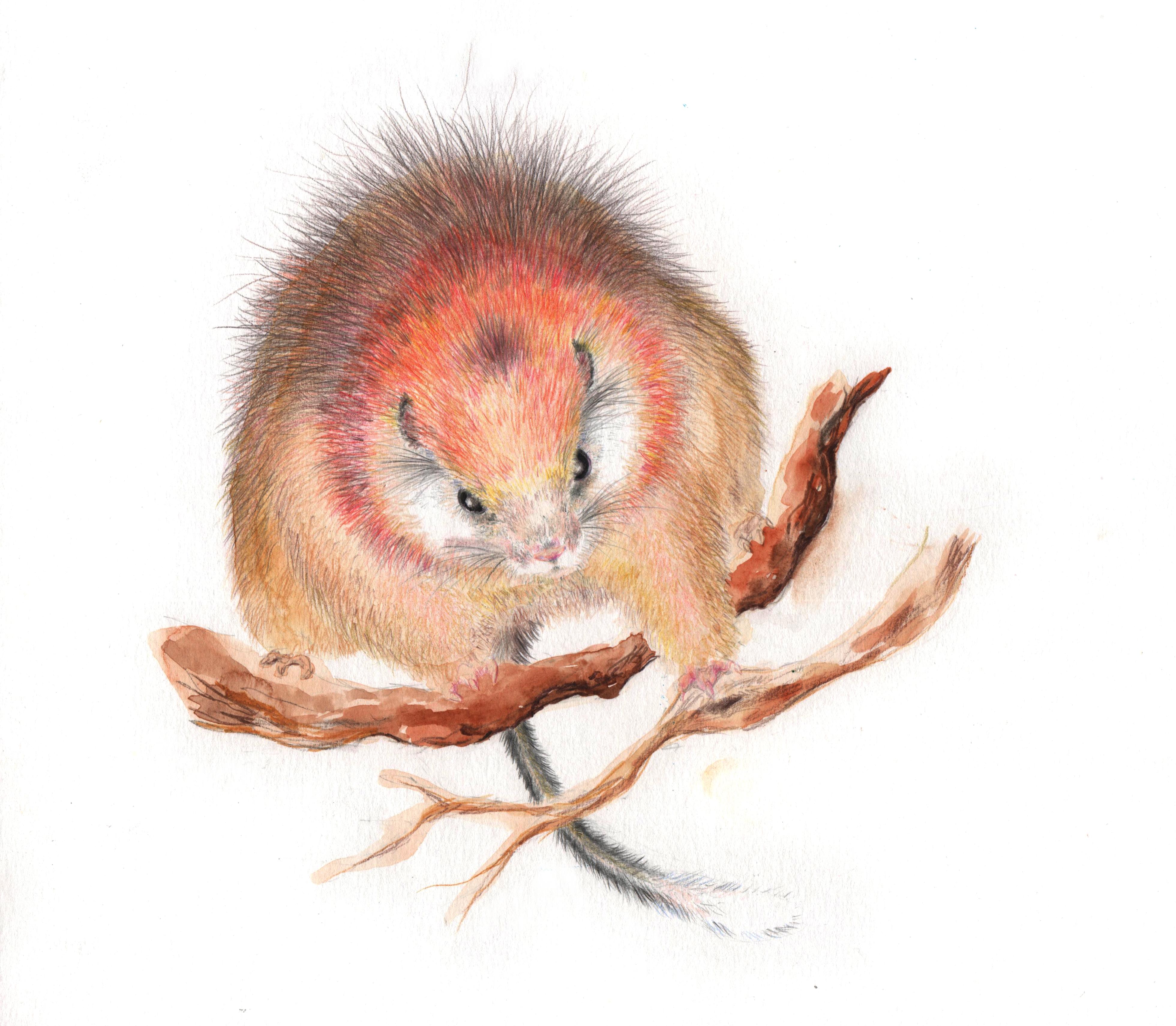 Red-Crested Tree Rat rarest animal
