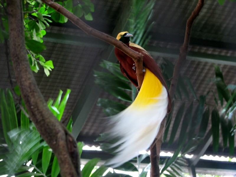 greater birds of paradise