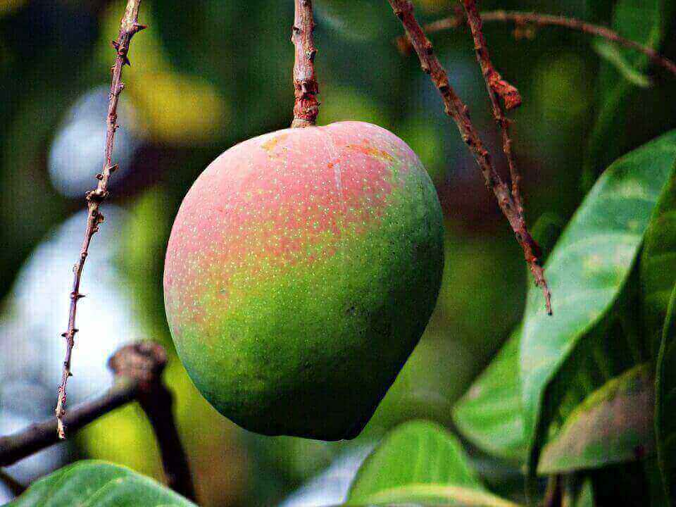 interesting facts about mango